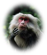 macaques.jpg (11778 bytes)